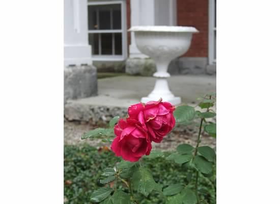 Diamond Island Rose